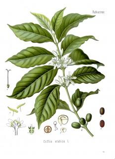 planche botanique_Coffea_arabica_-_Köhler–s_Medizinal-Pflanzen-189